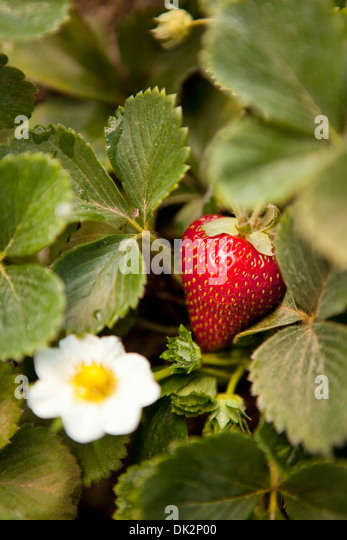 Close up high angle view of organic strawberry plant with blossom in garden - Stock Image