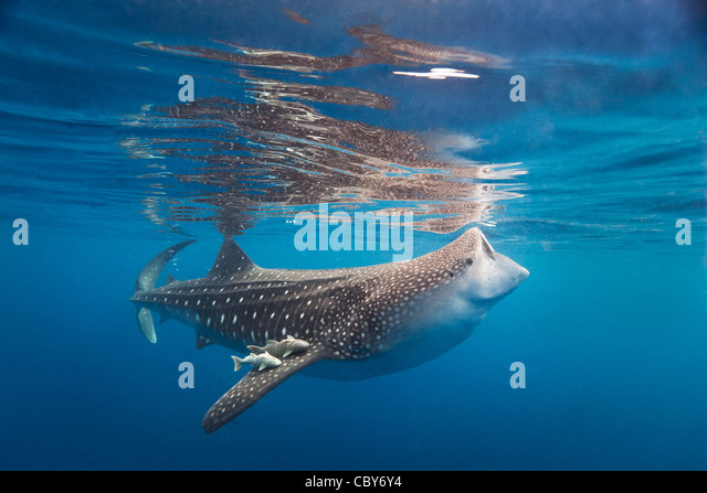 Whale shark and his traveling companions feeding at the water surface. - Stock-Bilder