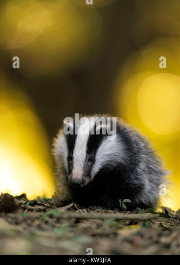 Eurasian Badger - Stock Image