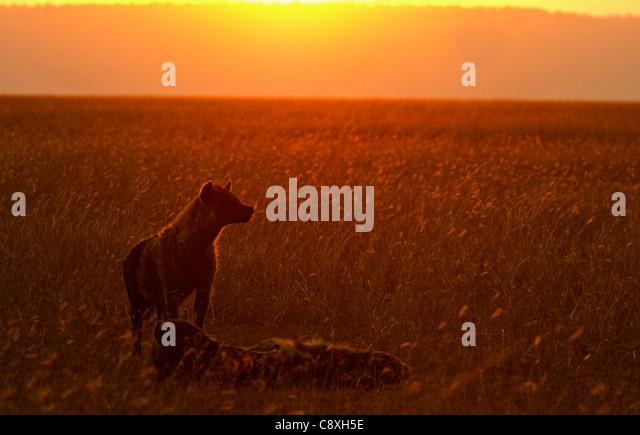 Spotted Hyena Crocuta crocuta Masai Mara Kenya - Stock Image