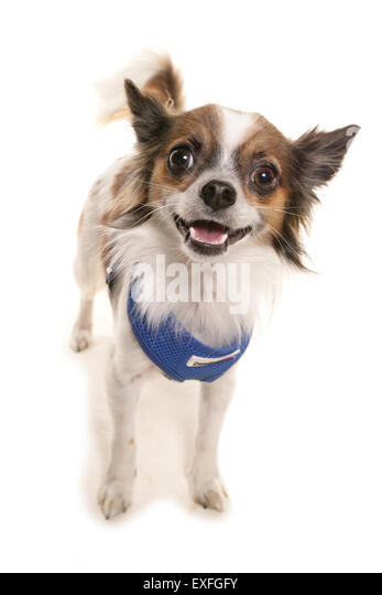 chihuahua divorced singles I have two little dogs chihuahua and jack russell i riding bicycle with trailer for dogs lot i like to find mature woman.