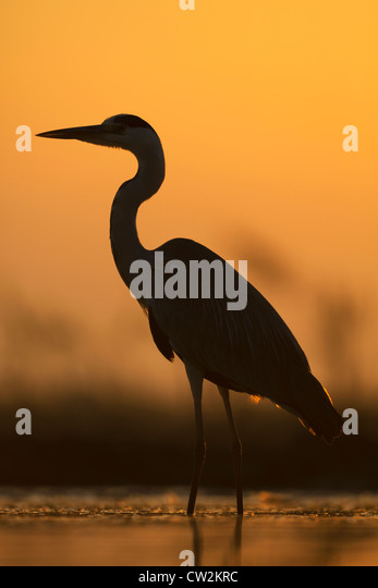 Silhouette of Grey Heron(Ardea cinerea) at sunrise.Hungry - Stock-Bilder