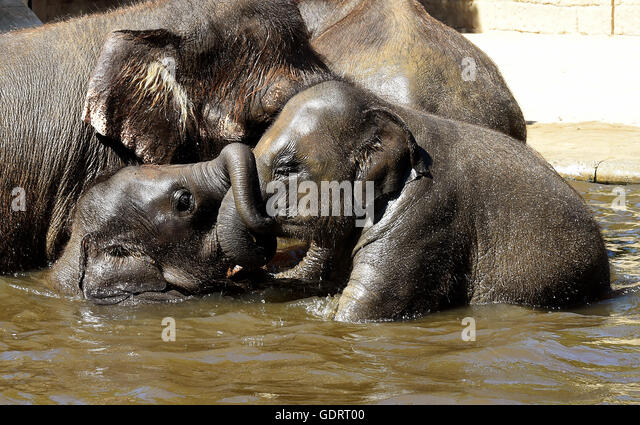Hanover, Germany. 20th July, 2016. Elephant calfs Yumi and Sitara (R) play in the water basin in their open-air - Stock Image