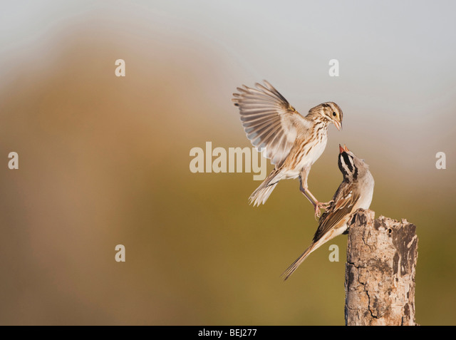 White-crowned Sparrow (Zonotrichia leucophrys), adult fighting with Savannah Sparrow, Corpus Christi, Coastal Bend, - Stock Image