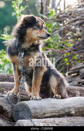 Miserable and hungry chained dog in the backyard. - Stock Image