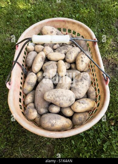 Basket with organic potatoes fresh from the garden - Stock Image