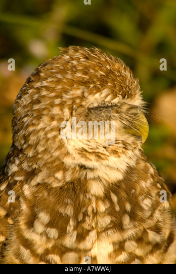 Burrowing owl Athene cunicularia eye closed portrait closeup nature detail - Stock Image