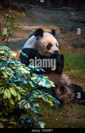 Giant Panda eating - Stock Image