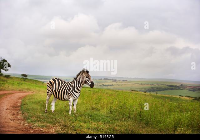Zebra in the countryside, South Africa - Stock Image