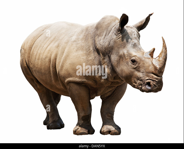 huge rhino isolated on white - Stock Image