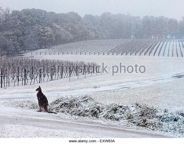 AUSTRALIA, Orange: A kangaroo surveys a snow-coated vineyard at Colmar Estate near Orange, New South Wales on July - Stock Image