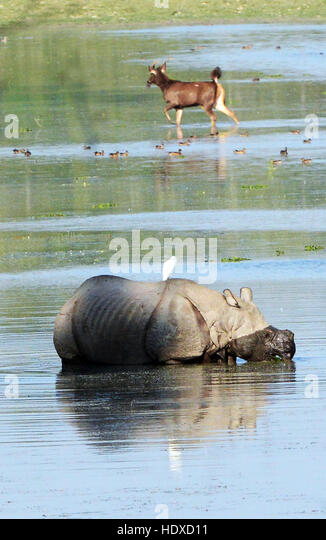 A  greater one-horned rhinoceros and a big Sambar deer in the background in Kaziranga national park in Assam. - Stock Image