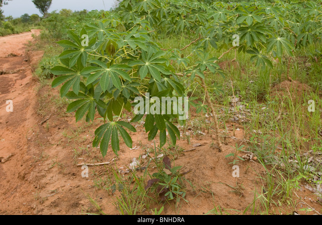 Cassava plants cultivated in the Gonja triangle, Ghana. - Stock Image