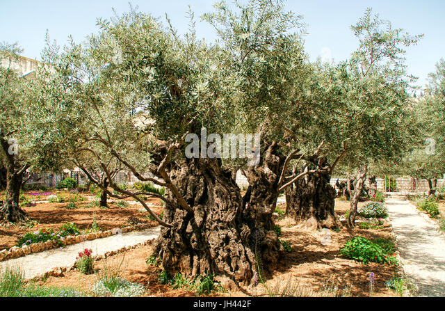 Ancient Olive trees in the garden of Gethsemane in the grounds of the Basilica of the Agony Church of all Nations - Stock Image