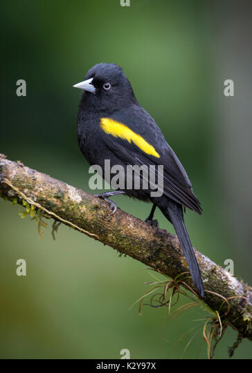 Golden-winged Cacique (Cacicus chrysopterus) from the Atlantic Rainforest - Stock Image