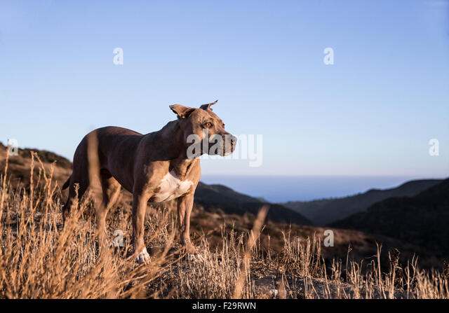 Pitbull dog walks a ridge line trail in mountains overlooking the ocean at sunset - Stock Image