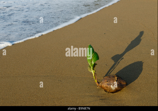 coconut sprouting on beach, Costa Rica - Stock Image