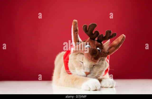 Light colored sleeping cat wearing reindeer costume against red background - Stock Image