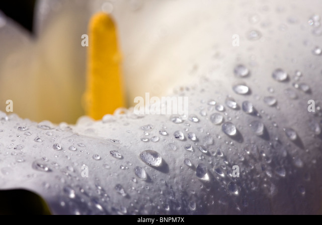A clearing storm deposits rain drops on petal of calla lily. Garrapta State Park, California, USA. - Stock Image