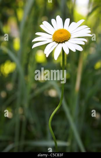 bright daisies on the background of grass - Stock-Bilder