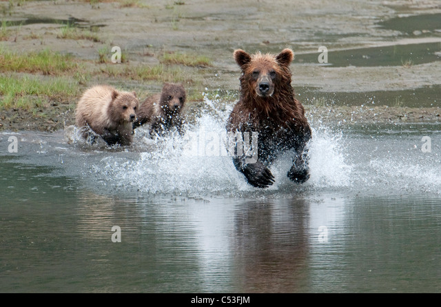 Brown Bear sow chases salmon while her cubs watch from the beach, Chinitna Bay, Lake Clark National Park, Southwest - Stock Image