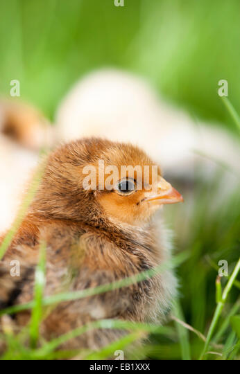 Day old poultry chicks outside on grass. - Stock Image