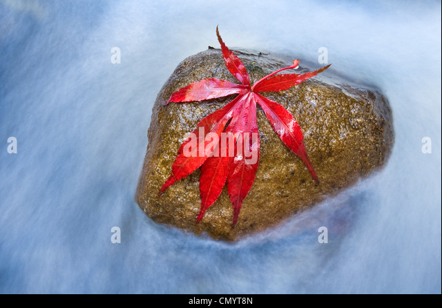 Japanese Maple leaf on stone in river. - Stock Image