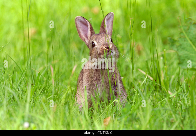 European rabbit (Oryctolagus cuniculus), sitting in a meadow, Germany - Stock Image