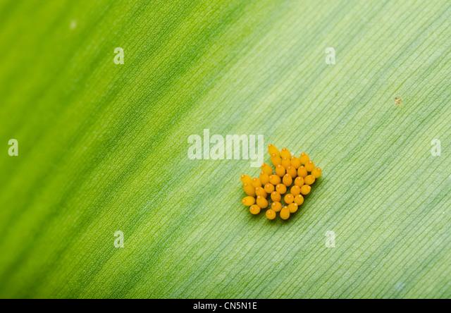 Ladybug egg on leaf in green nature - Stock Image