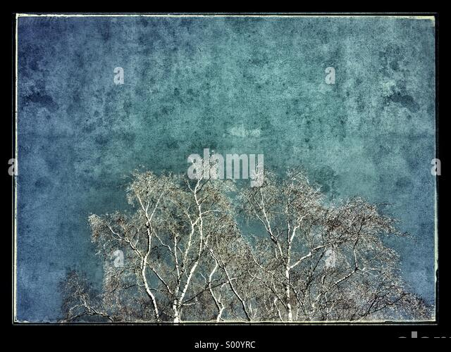 Sliver Birch against a texture blue sky - Stock Image