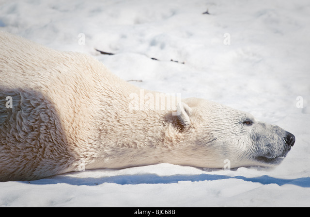 A Polar bear (Ursus maritimus - ours polair or Ours blanc) - Stock Image