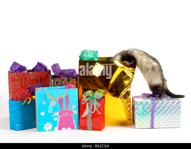 A cheeky naughty ferret looking for presents. - Stock Image
