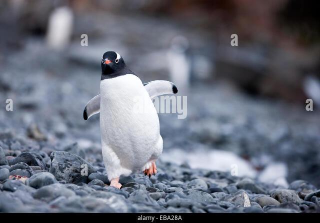 Gentoo penguin (Pygoscelis papua), Antarctic Peninsula, Antarctica - Stock Image