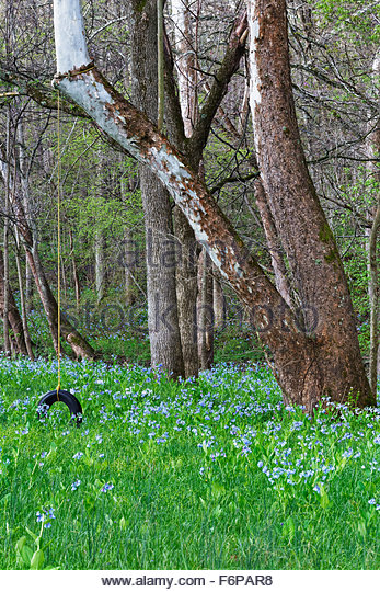 Old tire swing in Virginia Bluebells, Hartsville, Indiana - Stock Image
