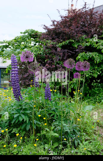 Vertical view of purple perennial lupins and alliums growing in June in a rural garden in Carmarthenshire, Wales - Stock Image