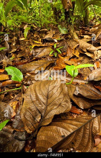 Rain forest floor at Burbayar nature reserve, Republic of Panama. - Stock-Bilder