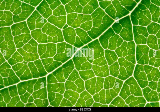 Leaf-veins, light shining through - Stock Image