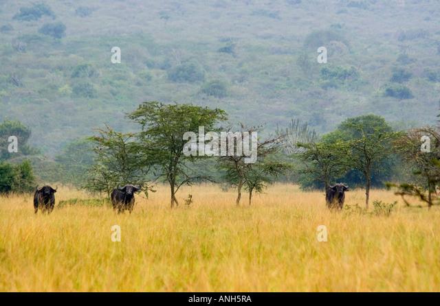 African Buffalo, Syncerus caffer, Lake Mburo National park, Uganda, Africa - Stock Image