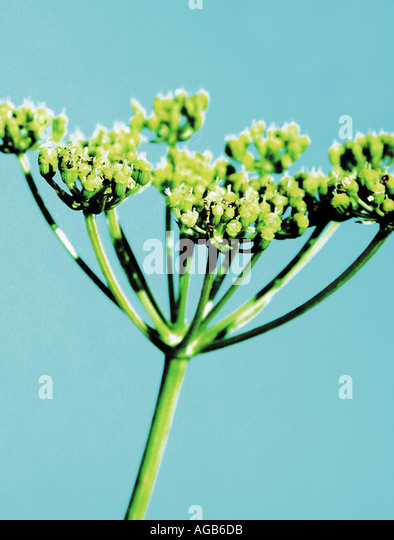 Contemporary image of fennel on blue background - Stock Image