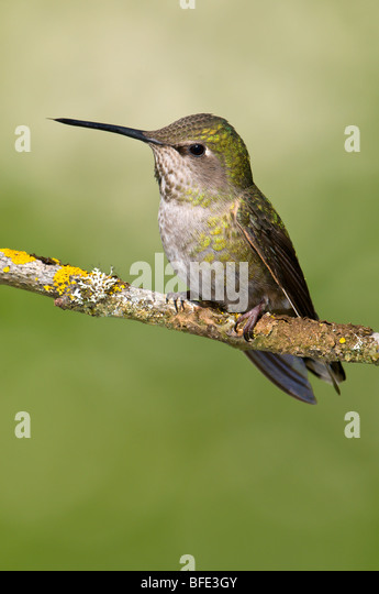 Female Anna's hummingbird (Calypte anna) on perch in Victoria, Vancouver Island, British Columbia, Canada - Stock Image