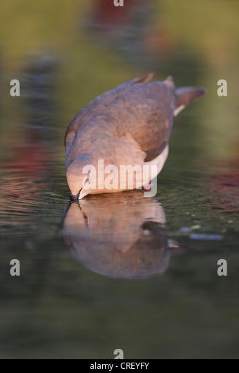 White-tipped Dove (Leptotila verreauxi), adult drinking, Dinero, Lake Corpus Christi, South Texas, USA - Stock Image