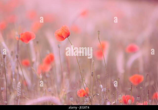 Poppy flowers in sunset - Stock Image