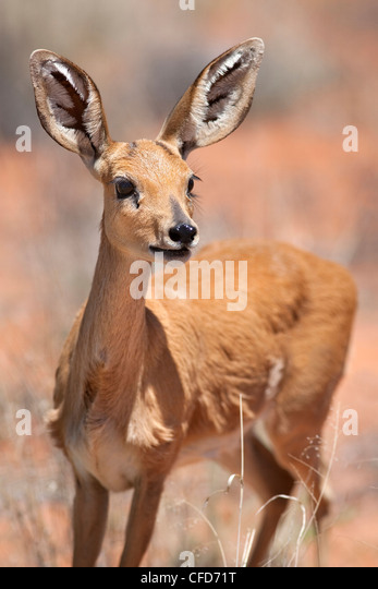 Female Steenbok(Raphicerus campestris), Kgalagadi Transfrontier Park, South Africa, Africa - Stock Image