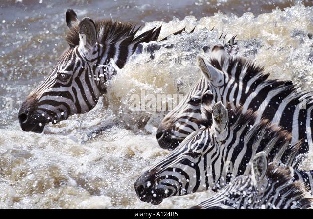 Zebras crossing Mara River on migration Kenya - Stock-Bilder