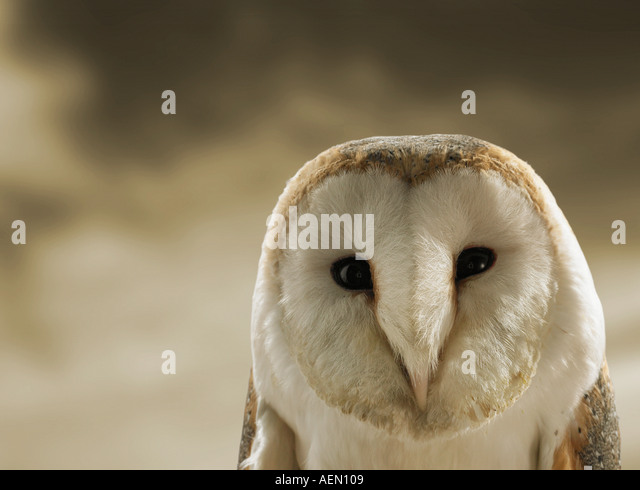 Close up of Barn owl - Stock Image