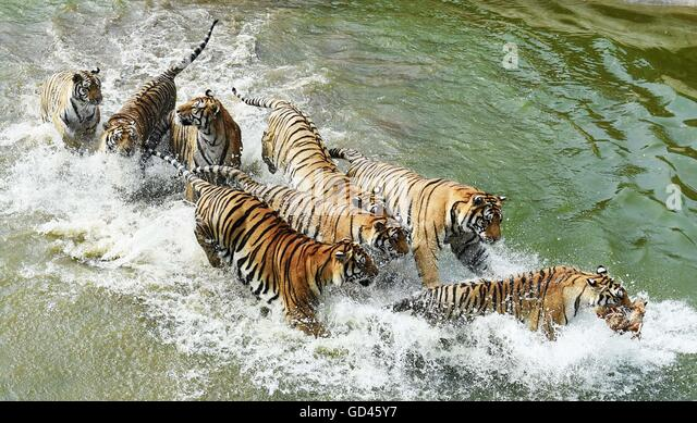 Hailin, China's Heilongjiang Province. 12th July, 2016. Siberian tigers catch a chicken at the Siberian Tiger - Stock Image