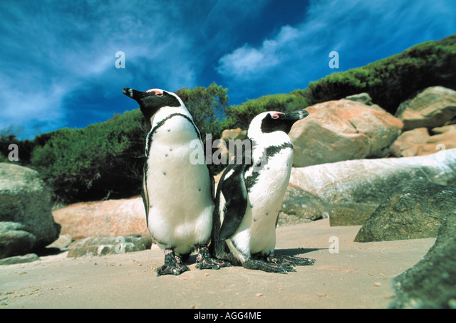 Jackass penguins on beach outside Cape Town, South Africa - Stock Image