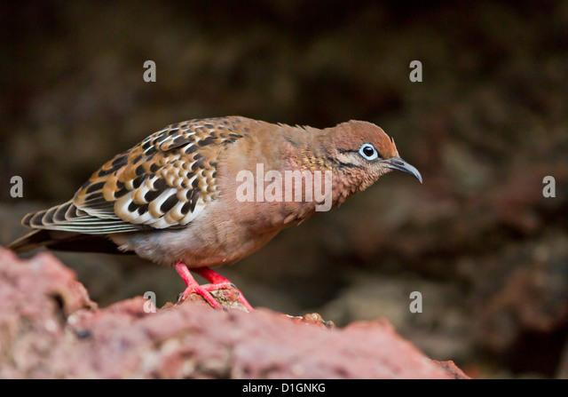Galapagos dove (Zenaida galapagoensis), Espanola Island, Galapagos Islands, UNESCO World Heritage Site, Ecuador, - Stock Image