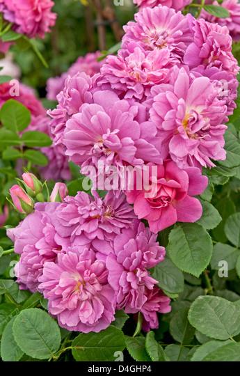 Rosa princess anne stock photos rosa princess anne stock for Rosier princesse d orient