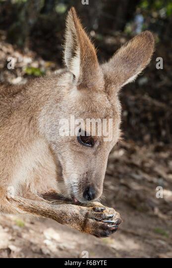 Eastern Grey Kangaroo, Macropus giganteus, Queensland, Australia - Stock Image